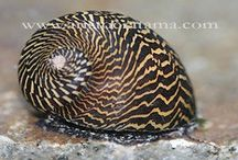 aquascape snail / species of snails for aquascape and algae treatement ina aquarium