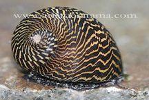 aquascape snail / species of snails for aquascape and algae treatement ina aquarium