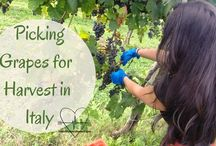 pickinggrapes