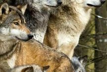 Wolves/wolf