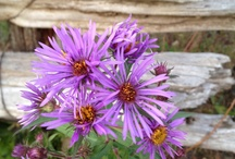 Native Wildflowers For the Garden.. / by Belinda Marie McLaughlin Knoblock