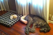 Cani enormi