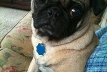 My Pug Frankie J & Other Cuties <3 / my pup
