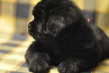 Newfies / by Dan DeBroux