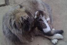 Bassa Caucasian Shepherd Dog