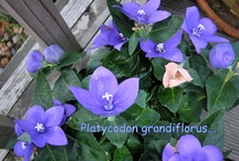 Platycodon / value for money...