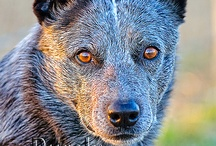 Heelers / by Jerry Turnbull