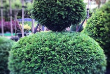 Topiary and Cloud Pruning / by Sara Venn