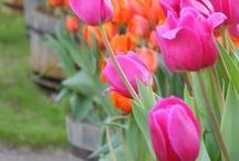 Flowers! / #Flowers #Tulips #Rose #others #passion #bulbs #bulbfields #love #nature #flora / by Arjan van der Veer