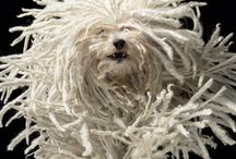 Nature::Dog::Puli