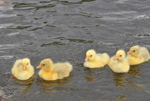 Goslings that are possibly named Ryan / Stupidest Pinterest board ever.