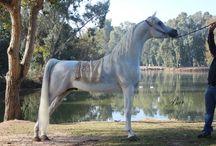 SHADWAN IBN SETALA /  (HT El Khurafa X Setala) 2003 Grey Stallion  Own by Anwar Zawalhy