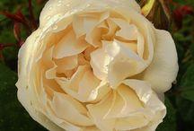 Rose / Austin