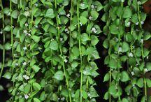 Succulents - Dischidia