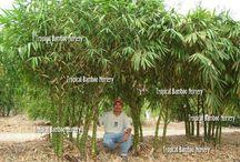 bambu....