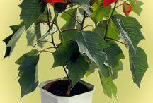 Plantes ornamentales