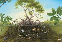 Mangrove / All things mangrove