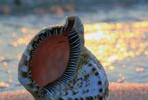 Deniz Kabukları ..