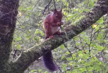 Red Squirrels at Eskrigg Reserve.