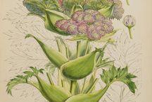 Nathaniel wallich Indian botany