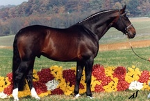 Dutch Warmblood / country of origin - Netherlands | average height ca. 162 cm | colours - black, bay/brown, chestnut, grey, pinto patterns (sabino, tobiano in certain lines) | uses - dressage, show jumping, eventing