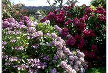 Сад гортензии