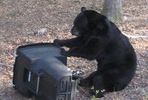 Bear Necessities / How to live with Florida black bears. Information on how to build all sorts of bear-deterring devices (like trash cans and sheds) here: http://myfwc.com/wildlifehabitats/managed/bear/brochures/