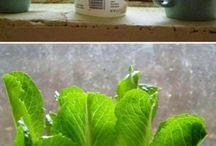 Regrow your Vegetable Offcuts