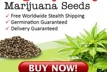 Seeds Marijuana Cannabis Weed Seeds