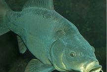 Fish - uială :))