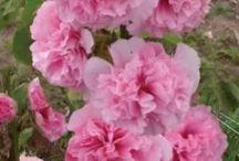 dvojrocne kvety