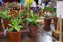 Primulas and auriculas / Beautiful primulas and auriculas!