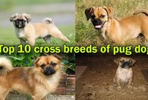 Top 10 Cross breeds of pug dog / Mixed-breed dogs are not only beautiful but also have less health issues.  In this article, we listed top 10 cross breeds of pug dog. First of all, there will be a question in your mind what is cross breed?
