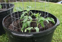 2015 Tomato and Vegetable Season / I'm back at it again: growing heirloom tomatoes in sunny South Florida, fighting back iguanas and fungus to hopefully harvest some delicious fruit.