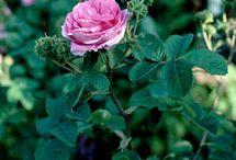 Gardening, Roses / Roses