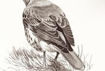 Bird drawings