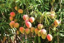 Fruit tree in pot