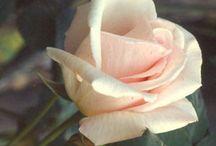 Plants - roses