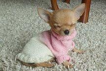 Chihuahuas ❤