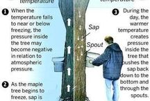 How The maple SAP flows