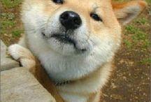 Shiba-inu♡