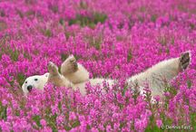 Dennis Fast || Playful Polar Bears Frolicking in Flower Fields During Summer / While staying at lodges run by Churchill Wild in Manitoba, Canada, wildlife and nature photographer Dennis Fast captured these incredible shots of polar bears frolicking in fields of fireweed. Come early autumn, polar bears start to wait for ice to reform in the bay so they can return to their winter hunting grounds, but for at least a short time in the summer, they get a chance to enjoy the sunshine and blossoms.  Dennis Fast webste: http://www.dennisfast.com/