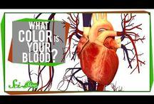 anat. cardiovascular / by jenny weir