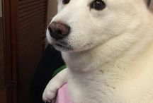 Dog / Shinba inu