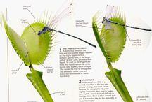 Pet - Venus Fly Trap