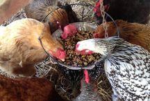 Kippen verzorgen