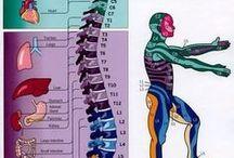 Wirbelsäule - Körper