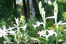 White pure.....plants: Tuberosa, Anthericum, Galtonia