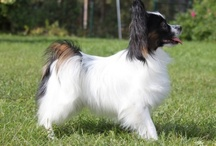 Anthems Dogs / Dogs breed by kennel Anthems, mainly Papillon and Phalènes.