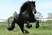 Friesians / ~ The Beauty of Friesian Horses ~